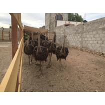Avestruz Avestruces Pollos Baratos