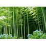 50 Semillas De Bambu Mosso Gigante + Envio Gratis .