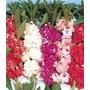 60 Sementes Flor Balsamina Camélia Sortida #aroz