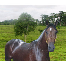Cavalo Mangalarga Marchador De Marcha Picada