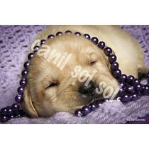 Filhotes De Labrador Porte Ingles (canil)