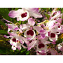 Venta De Orquídeas Dendrobium Nobile