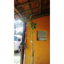 Trepadeira Jade Vermelha Planta Com 2 Metros Aprox