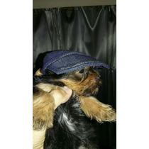 Yorskie Terrier Mini