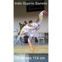 Indio Gigante (ovos Galados/ferteis)