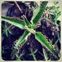 6 Plantines De Kalanchoe Daigremontiana, Con Muchos Hijitos