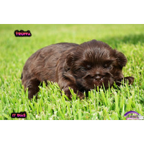 Shih Tzu Femea Chocolate,femea Chocolate Shih Tzu Pedigree