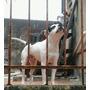 Pit Bull Busca Novia
