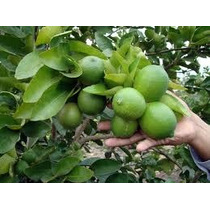 Corrida Financiera Cultivo Y Producción De Limón Persa