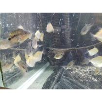 Peixe Papagaio Filhote - Lote
