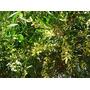 Arbol Acacia Longifolia Buena Sombra Rapido Crecimientp