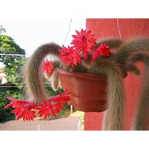 Cacto Rabo Macaco 1 Muda