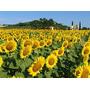 Girassol Amarelo Gigante Da Sementes Graúda Naturais 1 Kg