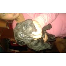 Cachorro Shar Pei Super Arrugado!!!!
