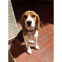 Servicio De Cruza Beagle Tricolor 13 Pulgadas