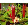 Quiabo Vermelho Burgundy Sementes Hortaliças Para Mudas