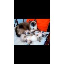 Filhotes De Gatos Siâmes