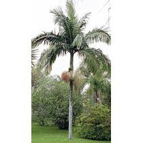Mudas De Palmeira Real ( Kit Com 10 Mudas)