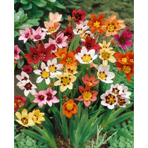 Sparaxis Tricolor. Arlequina En Mezcla De Colores 10 Bulbos