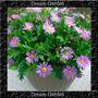 Brachycome Violet Sementes Para Muda Flor