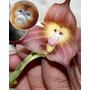 10 Sementes Orquidia Exótica Flores Cara De Macaco Planta