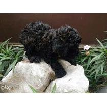 Machinho De Poodle Toy Linhagem Importada
