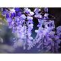 Sementes 8 Wisteria Glicínia +15 Sakura Flor /bonsai P Muda