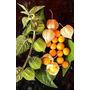 Physalis Peruviana - Fruta - Sementes Para Mudas