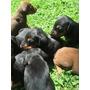 Vendo Venta Cachorros Doberman Puros Garantizados Rojos