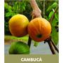 Muda De Cambucá- A Fruta Mais Saborosa Do Brasil