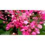 Sementes De Amor Agarradinho Rosa Antigonon Leptopus Apicola