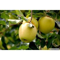 Manzana Golden (árbol) Injertada