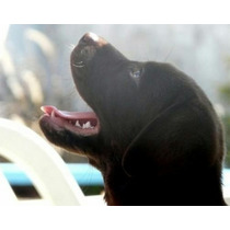 Cachorros Labrador Negros Excelencia Al 100%