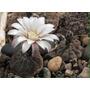 Cactus Exotico Gymnocalycium Stellutum.