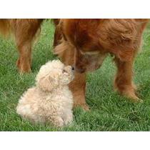 Caniche Mini Micro Toy Hembra Beige Cachorro!! (consulte)