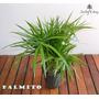 Palmito - Plantas De Interior