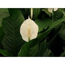Cuna De Moises ( Planta ), Spathiphyllum Wallisii 60cm Lirio