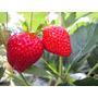 Semillas De Frutillas 100 Por $220