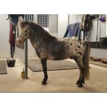 Semental Miniatura Appaloosa Leopardo . Mini Pony