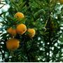 10 Sementes De Uvaia P Mudas - Rara E Deliciosa Fruta Uvalha