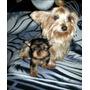 Ultima Yorkie Mini Hermosa Vacunada Yorky Yorkshire Terrier