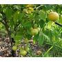 Arbol Araza Arasa Frutal Nativo