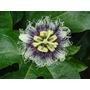 Pasiflora Edulis Passiflora Maracuya Pack Semillas