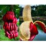 Muda De Banana Vermelha Rizoma<br><strong class='ch-price reputation-tooltip-price'>R$ 29<sup>00</sup></strong>