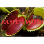 Plantas Carnivoras Venus Morón Atrapa Mosca Dionaea Julypets<br><strong class='ch-price reputation-tooltip-price'>$ 240<sup>00</sup></strong>