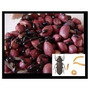 Alimento Vivo Besouro Amendoim Frete&gratis Peixe Ornamental