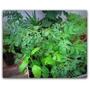 Plantas Aromáticas Culinarias Y De Huerta Tomates Cherry