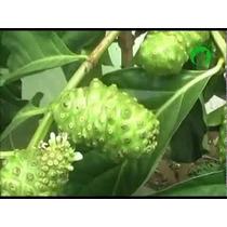 Arbolitos Plantas De Noni Con Flor O Fruto