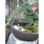 Arboles En Miniatura (bonsai) Varias Especies.