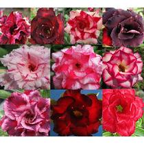 20 Sementes De Rosa Do Deserto Raras, 2 De Cada Cor